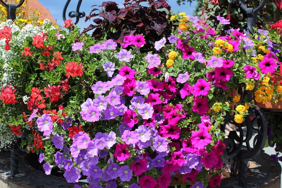 Sementi fiori e piantine da orto molino peirone for Fiori da balcone perenni